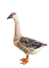 Goose. Close-up. isolated