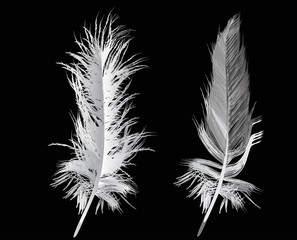 two gray feathers isolated on black