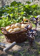panier de pommes de terre dans jardin potager