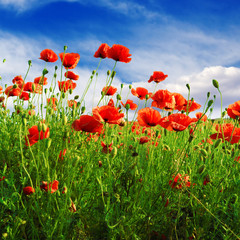 Wall Mural - poppies on green field