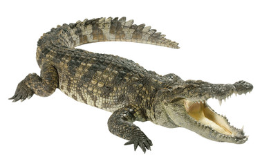 Photo sur Aluminium Crocodile Crocodile isolated on white background