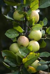 Obraz jabłoń - fototapety do salonu