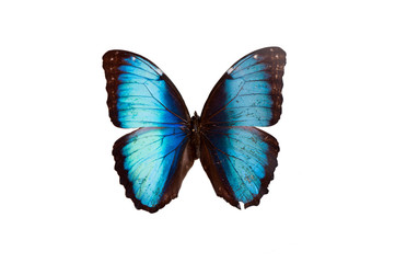 Morpho Micropthalamus. Butterfly. Isolated on white background