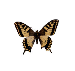 Papilio Machaon Gorganus. Butterfly. Isolated on white