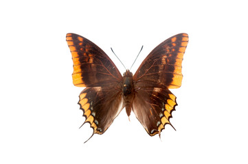 Charaxes Jasius. Butterfly. Isolated on white background