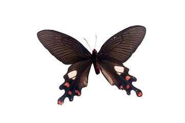 Atrophaneura Polyeuctes Lama. Butterfly. Isolated on white