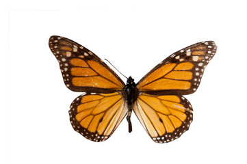 Danaus. Butterfly. Isolated on white background