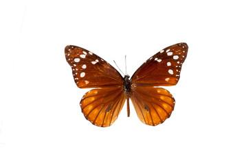 Danaus Erasimus. Butterfly. Isolated on white background