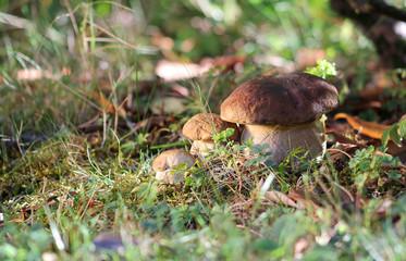 Three brothers mushrooms