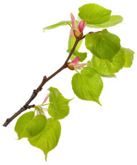 linden branch with new leaves