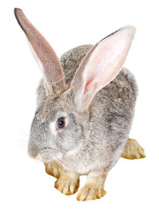 single gray rabbit