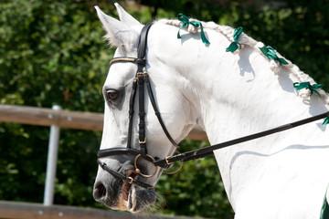White Lusitano Horse at at Barockpferdetag competition