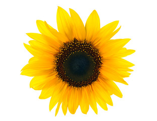 sun floweron white