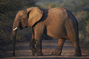 African elephant crossing the road at dusk