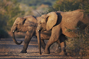 Two young african elephants crossing the road at dusk