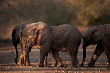 Three small baby african elephants crossing the road at dusk