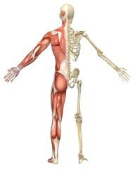 Male Muscular Skeleton Split Rear View