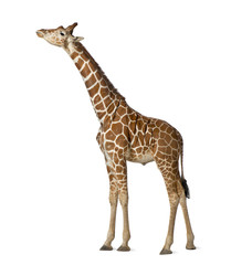 Wall Mural - Somali Giraffe, commonly known as Reticulated Giraffe