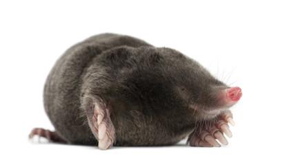 European Mole, Talpa europaea
