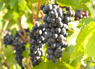 Fototapete - Herbst: Rote Weintrauben