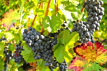 Fototapete - Weinstock mit roten Trauben