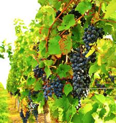 Fototapete - Herbst: Reben blauer Weintrauben