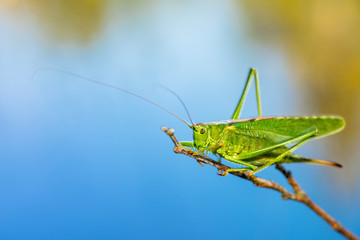 Long Horned Grasshopper - Tettigoniidae or Katydids