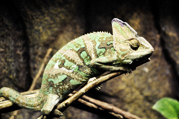 chameleon on the branches