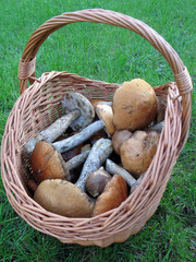 Basket with mushrooms (Fungi)