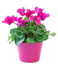 Pink cyclamen in a flower pot  isolated on a white background