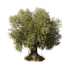 Deurstickers Olijfboom Olive tree white isolated