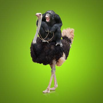 Monkey Sitting On Ostrich