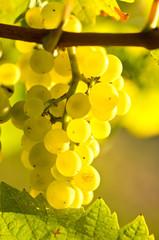 Herbst: Weiße Trauben