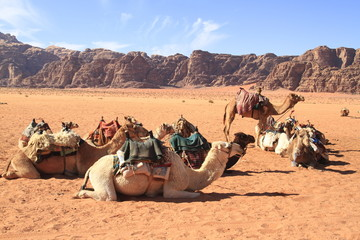 Foto op Plexiglas Kameel Kamele