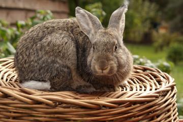 Obraz królik - fototapety do salonu
