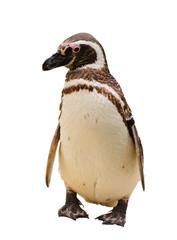 A Humboldt or Magellanic species of penguin