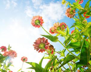 Wall Mural - Flowers Over Blue Sky. Zinnia flower. Autumn Flowers