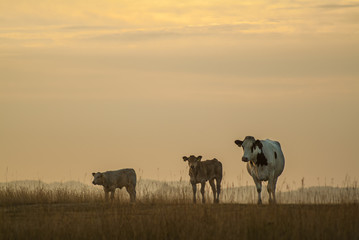 Mother cow with two calfs during sunset