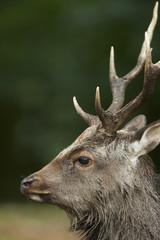 Close up Portrait of a sika deer stag (cervus nippon)
