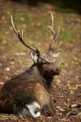 A sika deer stag (cervus nippon)