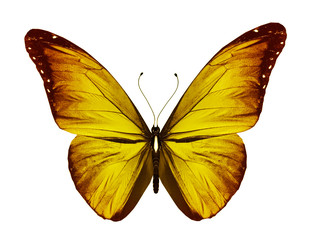 Yellow orange butterfly, isolated on white background