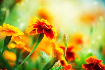 Fotoväggar - Tagetes Marigold Flower. Autumn Flowers Background