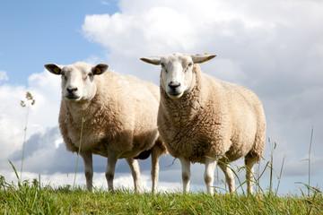 Fond de hotte en verre imprimé Sheep two sheep in the grass