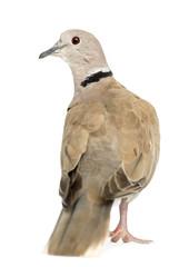 Rear view of Eurasian Collared Dove, Streptopelia decaocto