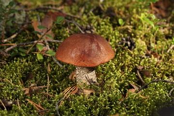 orange-cap boletus in a wood in a green moss