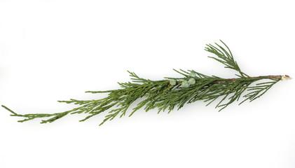 Sadebaum, Juniperus sabina
