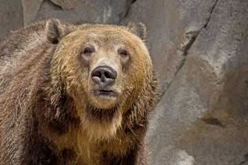 Brown grizzly bear looking forward