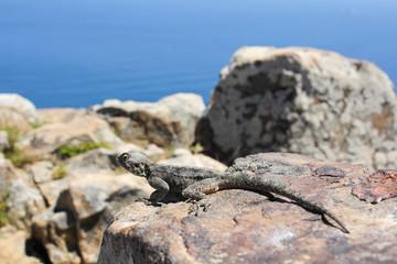 Gecko on a Rock