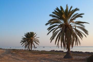 palmier djerba