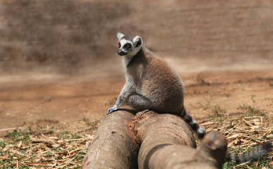 Photo of cute common brown lemur (Eulemur fulvus), or brown lemu